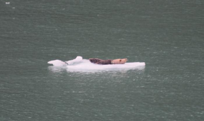 Focas dormindo em um iceberg