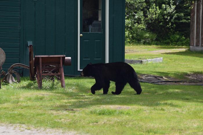 Um urso em Juneau!