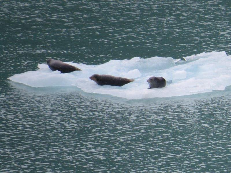 Focas no iceberg no caminho para a geleira