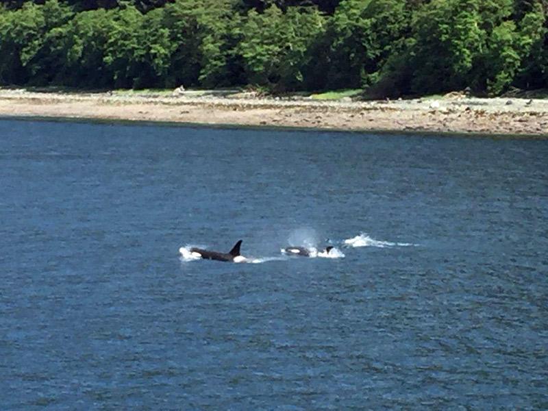 orcasnadandonoalasca