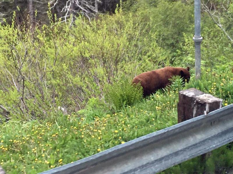 Urso em Skagway, Alasca
