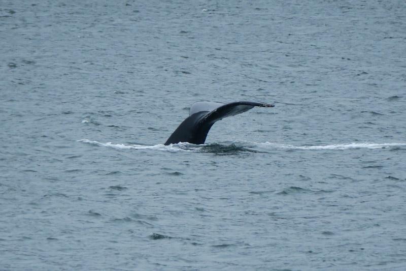 baleia no Alasca