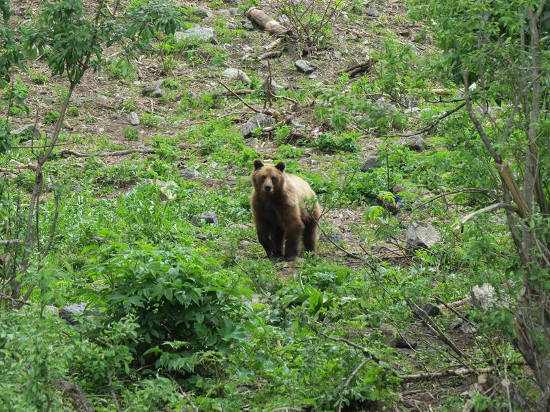 urso no Alasca